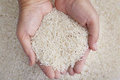 Gorgojo de arroz en manos Foto de archivo