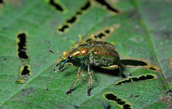 Gorgojo del escarabajo Foto de archivo libre de regalías