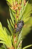 Gorgojo del pino foto de archivo