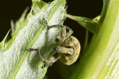 Gorgojo en una hoja cubierta en polen Imagen de archivo libre de regalías