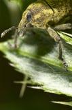 Gorgojo en una hoja cubierta en polen Imágenes de archivo libres de regalías