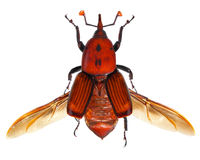 Gorgojo rojo de la palma Foto de archivo libre de regalías