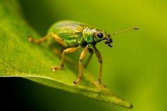 Gorgojo verde de la ortiga Imagen de archivo