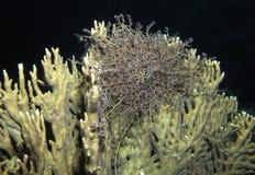 Gorgon Head Basket Star,Astroba nuda at Dangerous Reef, St John' Stock Images