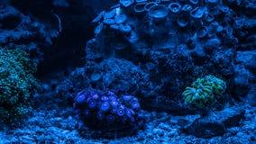 Gorgonaria Euplexaura, ανεμιστήρας θάλασσας Clavularia Clavularia Zoanthus Δεξαμενή σκοπέλων, θαλάσσιο ενυδρείο Μπλε σύνολο ενυδρ Στοκ Εικόνες