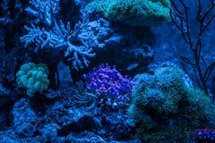 Gorgonaria Euplexaura, ανεμιστήρας θάλασσας Clavularia Clavularia Zoanthus Δεξαμενή σκοπέλων, θαλάσσιο ενυδρείο Μπλε σύνολο ενυδρ Στοκ Φωτογραφία