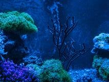 Gorgonaria Euplexaura, ανεμιστήρας θάλασσας Clavularia Clavularia Zoanthus Δεξαμενή σκοπέλων, θαλάσσιο ενυδρείο Μπλε σύνολο ενυδρ Στοκ φωτογραφία με δικαίωμα ελεύθερης χρήσης