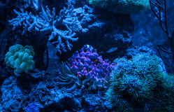 Gorgonaria Euplexaura, ανεμιστήρας θάλασσας Clavularia Clavularia Zoanthus Δεξαμενή σκοπέλων, θαλάσσιο ενυδρείο Μπλε σύνολο ενυδρ Στοκ εικόνα με δικαίωμα ελεύθερης χρήσης