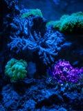 Gorgonaria Euplexaura, ανεμιστήρας θάλασσας Clavularia Clavularia Zoanthus Δεξαμενή σκοπέλων, θαλάσσιο ενυδρείο Μπλε σύνολο ενυδρ Στοκ Φωτογραφίες