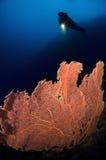 gorgone Индонесия sulawesi водолаза коралла Стоковые Изображения RF