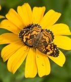 Gorgone Checkerspot蝴蝶的背面观 图库摄影