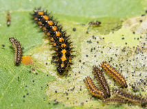 Gorgone Checkerspot butterfly caterpillar Royalty Free Stock Photos