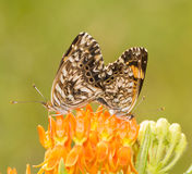 Gorgone Checkerspot butterfly couple mating Royalty Free Stock Photography