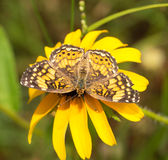 Gorgone Checkerspot butterfly Royalty Free Stock Photos