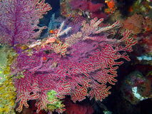 Gorgone coral Stock Photography