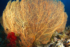 Gorgonia amarillo con el coral suave rojo dentro del jardín coralino fotografía de archivo