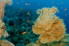 Gorgonia Coral. A massive Gorgonia Coral surrounded by Anthias stock image