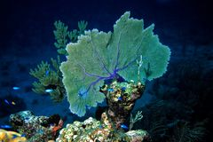 Gorgonia Coral Royalty Free Stock Photos