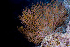 Gorgonia coral on the deep blue ocean Stock Images