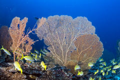 Gorgonia coral on the deep blue ocean Stock Image