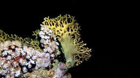 Gorgonia di Sinues Fotografia Stock