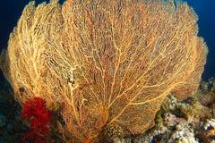 Gorgonia jaune avec le corail mou rouge à l'intérieur du jardin de corail Photographie stock