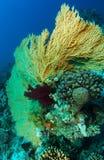 Gorgonia jaune grand-angulaire à l'intérieur du jardin de corail Photographie stock libre de droits