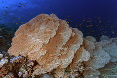 Gorgonia Plexaurida - Sea Fan Corals Royalty Free Stock Images