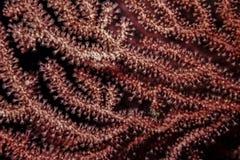 Gorgonia rouge sur le récif photo stock