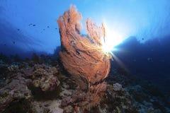 Gorgonia w morzu ja Fotografia Royalty Free