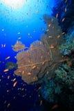 Gorgonian在热带礁石的海底扇珊瑚 库存图片