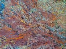 Gorgonian珊瑚 库存图片
