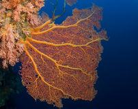 gorgonian κοπάδια rowley ανεμιστήρων Στοκ φωτογραφία με δικαίωμα ελεύθερης χρήσης