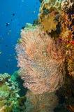 gorgonian μεγάλη θάλασσα ανεμισ&ta Στοκ Φωτογραφία