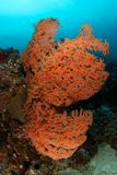 Gorgonian Royalty Free Stock Photography