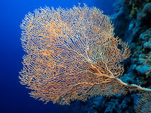 Gorgonian. Single well branched gorgonian on a blue water background royalty free stock image