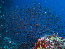 Gorgonian1 Immagine Stock