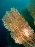 Gorgonian Fotografia de Stock