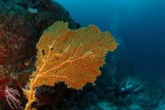 Gorgonian - Andaman Sea Royalty Free Stock Photography