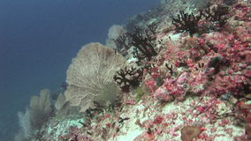 Gorgonian on background colorful corals underwater in sea of Maldives. stock video footage
