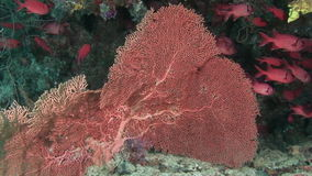Gorgonian on background of school of red fish in corals underwater in sea. stock footage