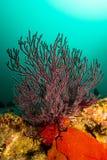Gorgonian Baja rev Royaltyfria Foton