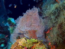 Gorgonian coral Royalty Free Stock Images