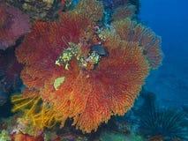 Gorgonian coral Stock Image