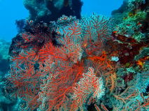 Gorgonian coral Stock Images