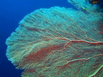 Gorgonian coral Stock Photo