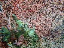Gorgonian coral Royalty Free Stock Photo