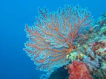Gorgonian coral royalty free stock photos