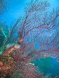 Gorgonian di acqua profonda rosso Nodulifera di Diodogorgia; immagini stock libere da diritti