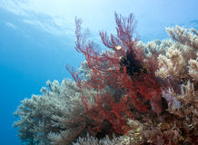 Gorgonian fan Royalty Free Stock Photography